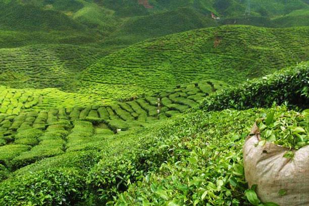چای دارجیلینگ یا چای دارجلینگ چیست؟